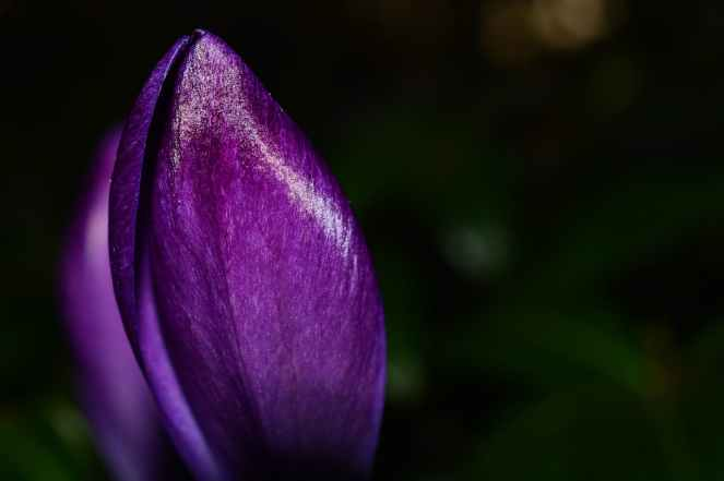 purple spring flower bloom