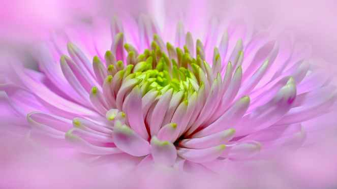 plant flower pink bloom