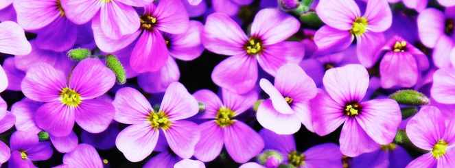flowers-purple-blutenmeer-purple-flower.jpg
