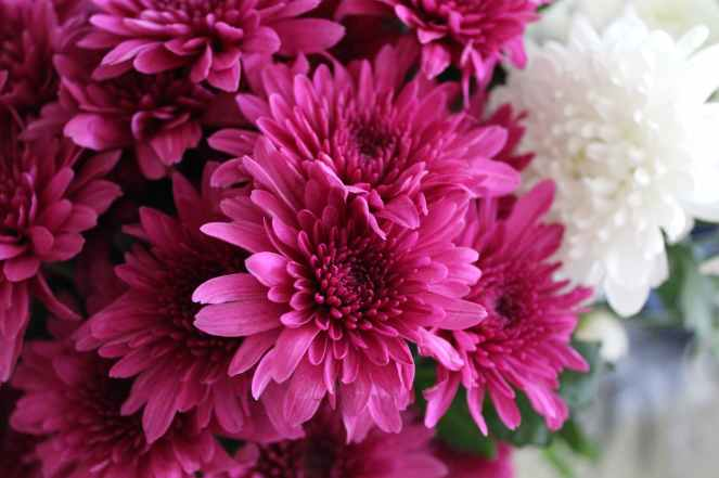 close up photography of pink chrysanthemum flowers