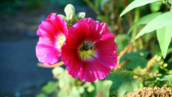 beautiful bee bloom blooming