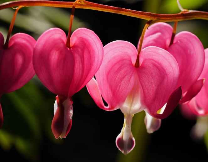 beautiful bleeding heart bloom blooming
